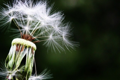 Seasonal Allergies - Dandelion